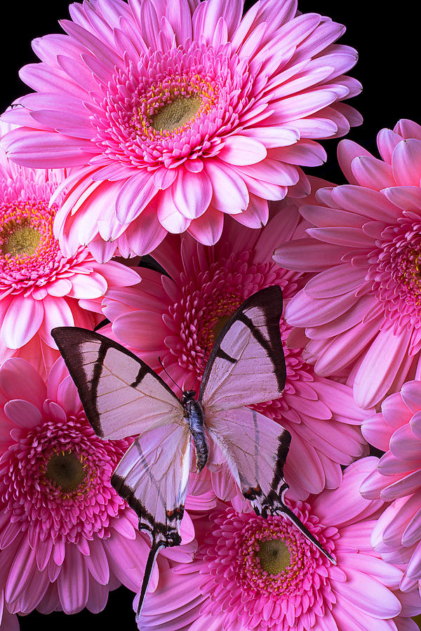 White Photograph - White Butterfly On Pink Gerbera Daisies by Garry Gay
