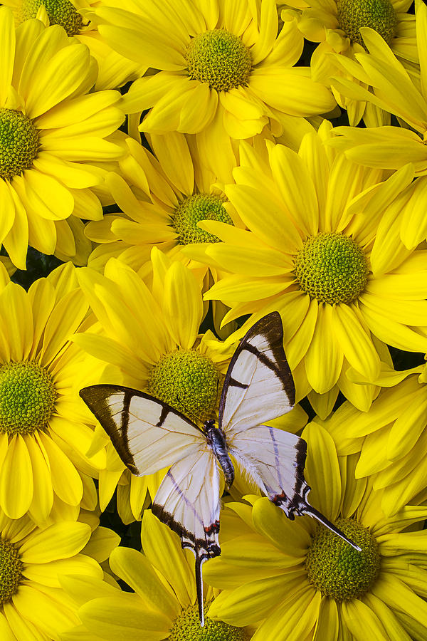 White Photograph - White Butterfly On Yellow Mums by Garry Gay