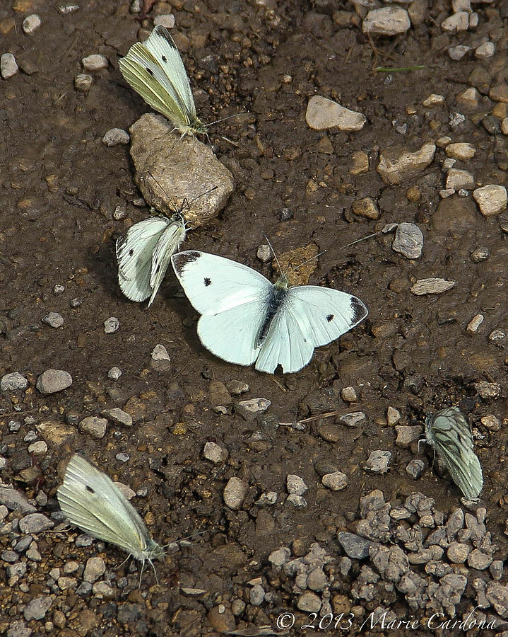 White Cabbage Butterflies Photograph by Marie  Cardona