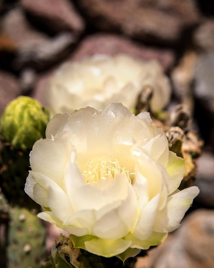 Rare White Cactus Flower Photograph - White Cactus Rose by  Onyonet  Photo Studios