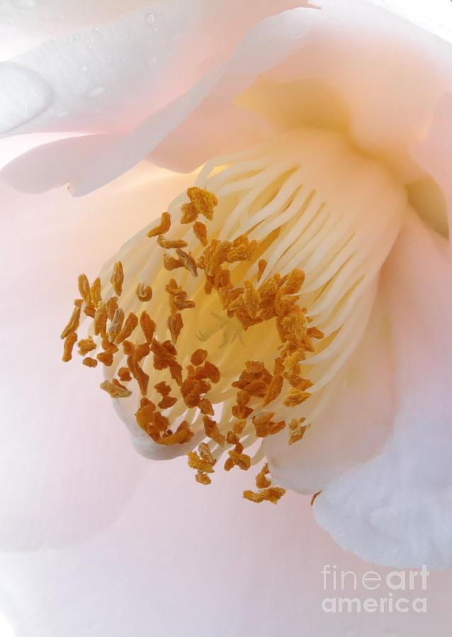 Macro Photograph - White Camellia Closeup by Carol Groenen