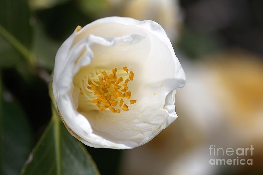 Flora Photograph - White Camellia  by Joy Watson