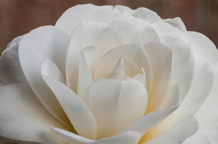 White Camellia Photograph By Randy Walton