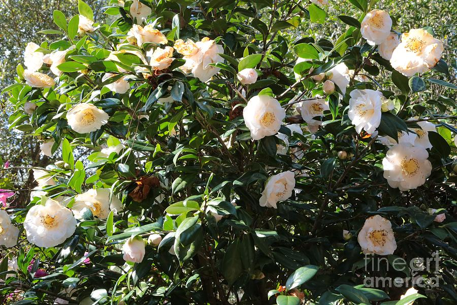 White Flowers Photograph - White Camellias by Carol Groenen
