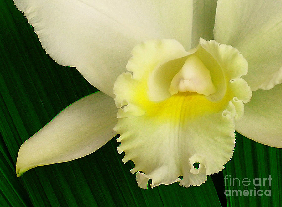 Iphone Cases Photograph - White Cattleya Orchid by James Temple