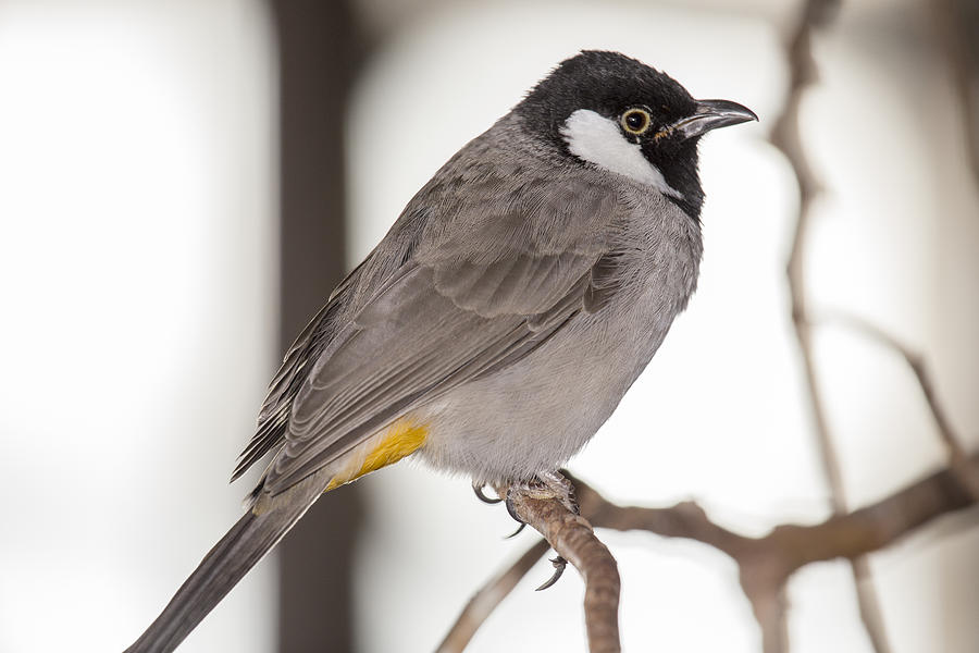 Aviary Photograph - White Cheeked Bulbul by Gerald Murray Photography