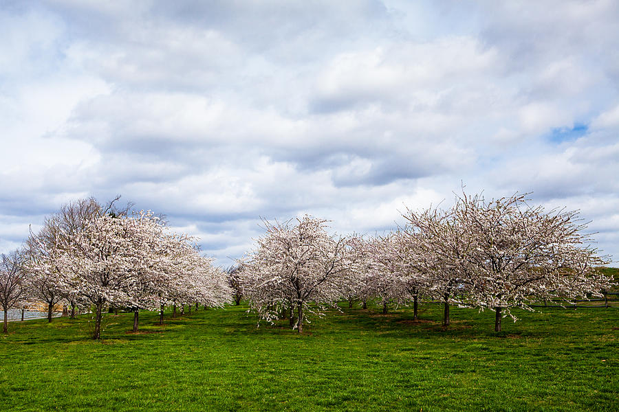 Cherry Photograph - White Cherry Blossom Field In Maryland by Susan Schmitz