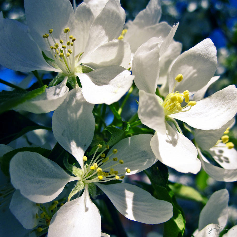 Cherry Blossom Photograph - White Cherry Blossoms In The Spring by Julie Magers Soulen