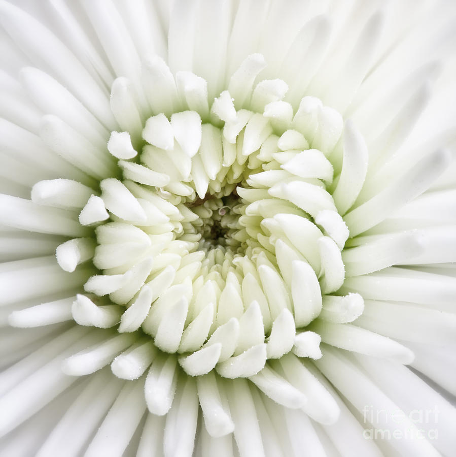 White Chrysanthemum 2 by Kate McKenna