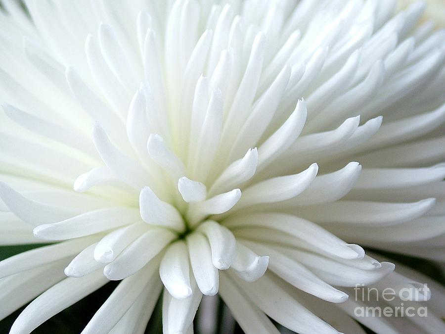Chrysanthemum Photograph - White Chrysanthemum by Joan-Violet Stretch