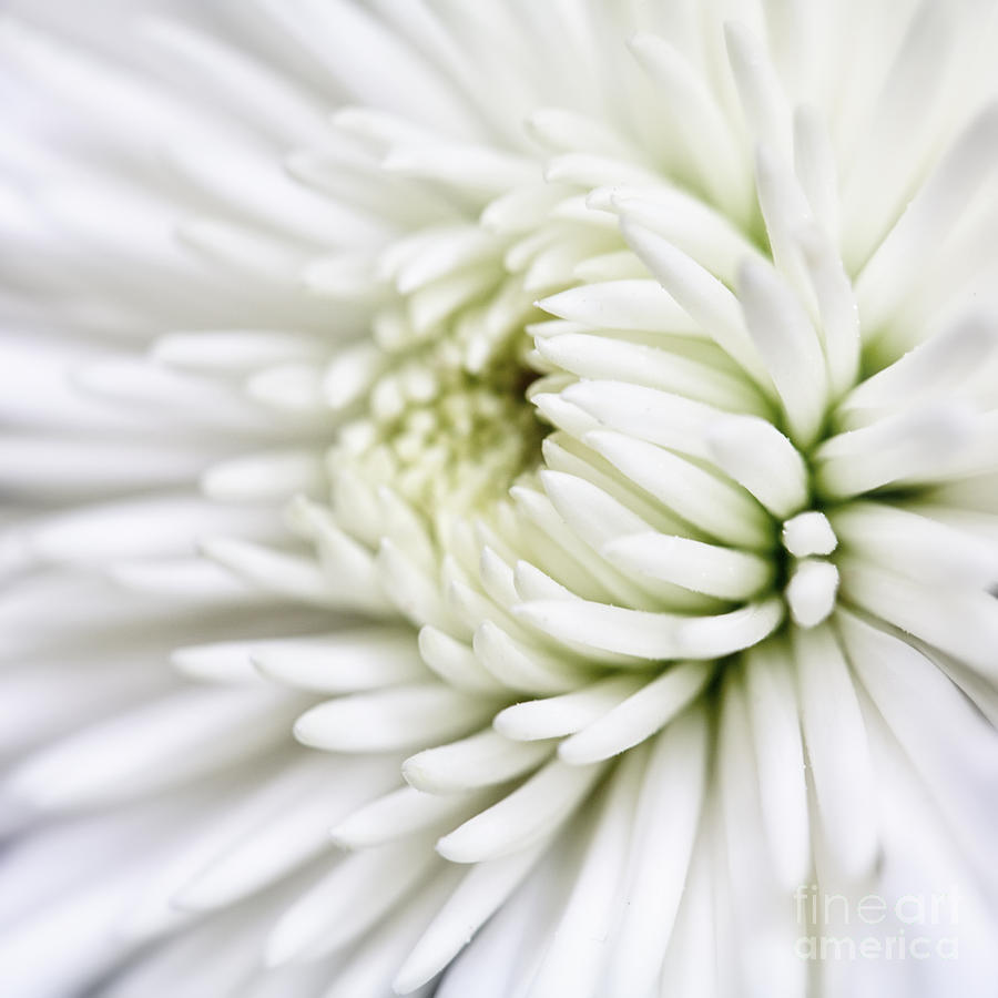 White Chrysanthemum by Kate McKenna