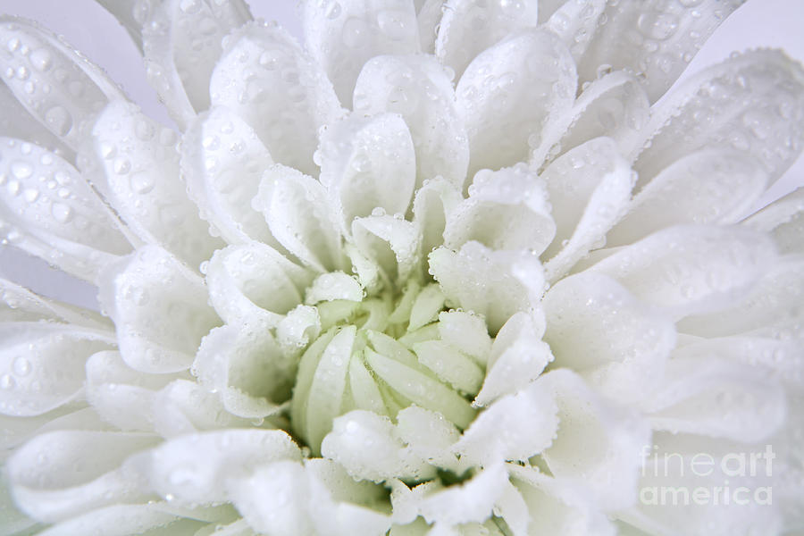 White Chrysanthemum by Pattie Calfy