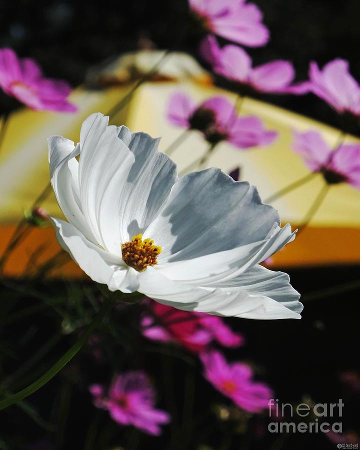 Garden Photograph - White Cosmos Yellow Umbrella by Lizi Beard-Ward