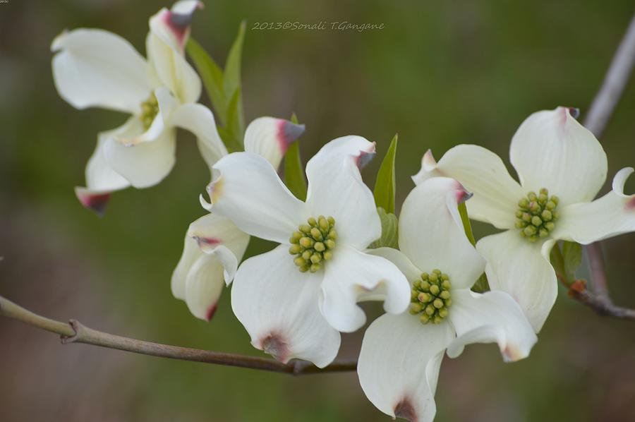 White cross flowers photograph by sonali gangane dogwood flowers photograph white cross flowers by sonali gangane mightylinksfo