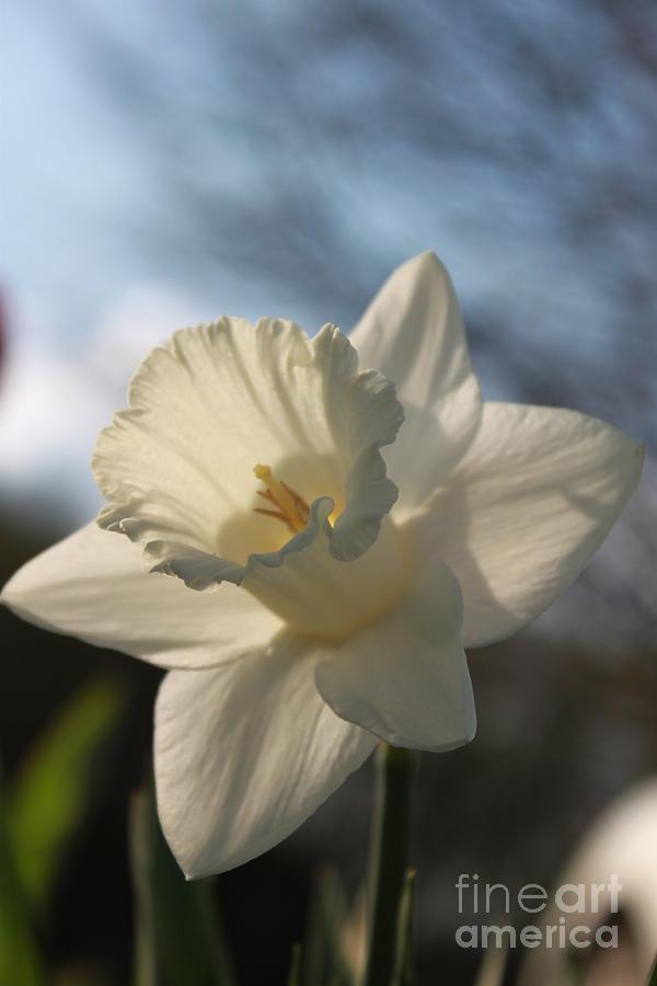 Daffodil Photograph - White Daffodil by Jennifer E Doll