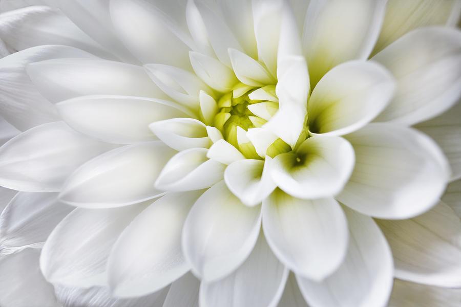 White Dahlia by Adrian Brockwell