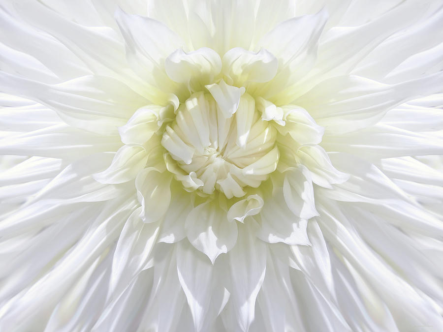 Dahlia Photograph - White Dahlia Floral Delight by Jennie Marie Schell