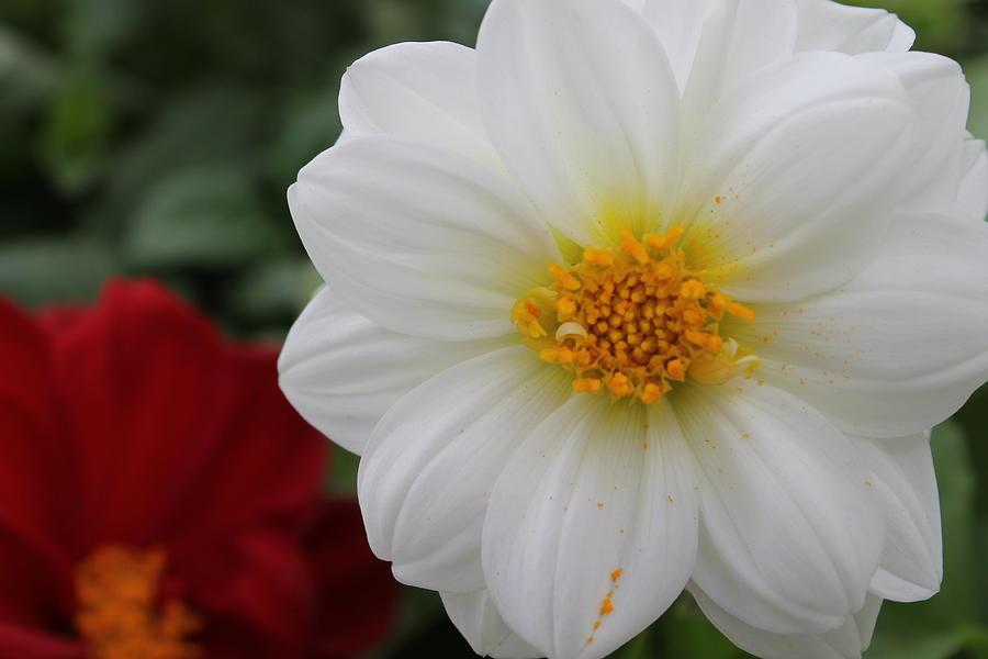 Dahlia Photograph - White Dahlia by Kristi Schmit