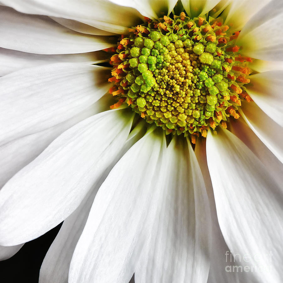 Flower Photograph - White Daisy Closeup by Madonna Martin
