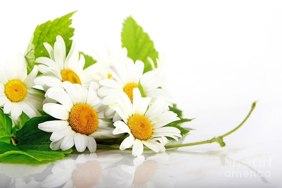White daisy flowers photograph by boon mee white daisy flowers photograph white daisy flowers by boon mee mightylinksfo