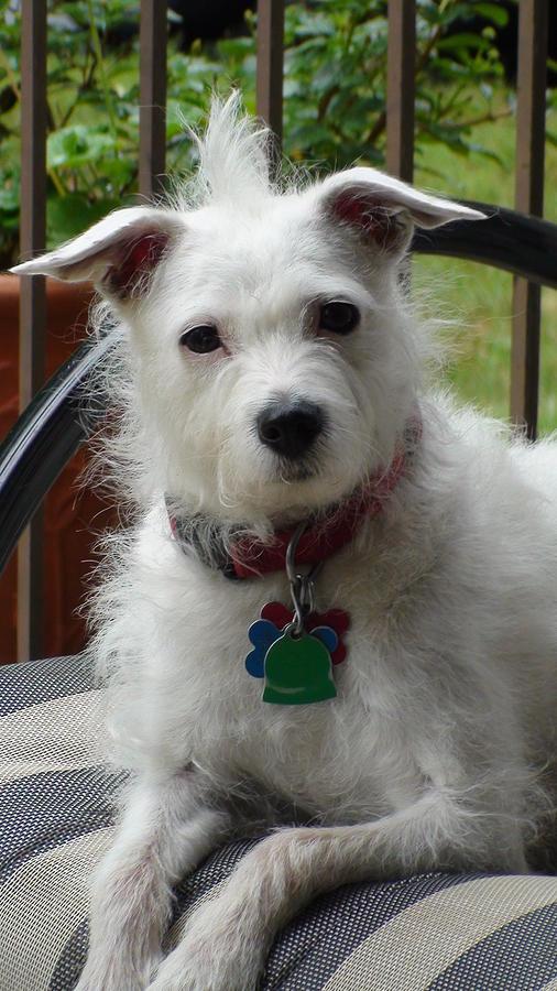 White Dog Photograph by Sanford
