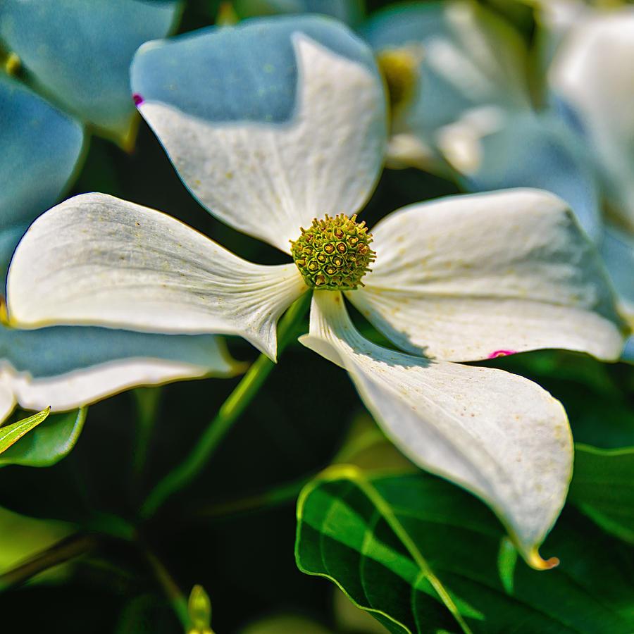 White Dogwood Flower Photograph By Louis Dallara
