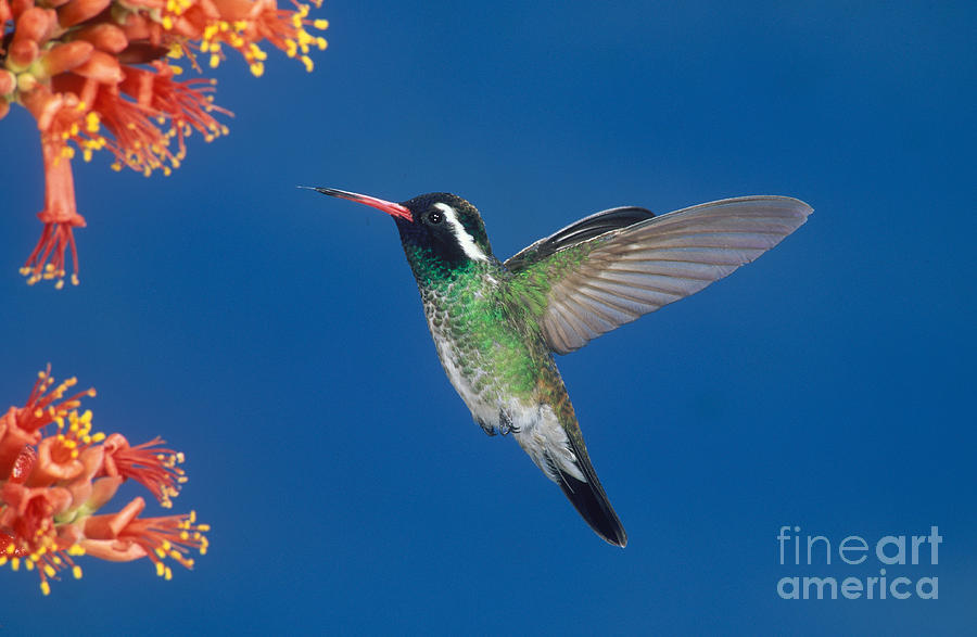 Animal Photograph - White-eared Hummingbird by Anthony Mercieca