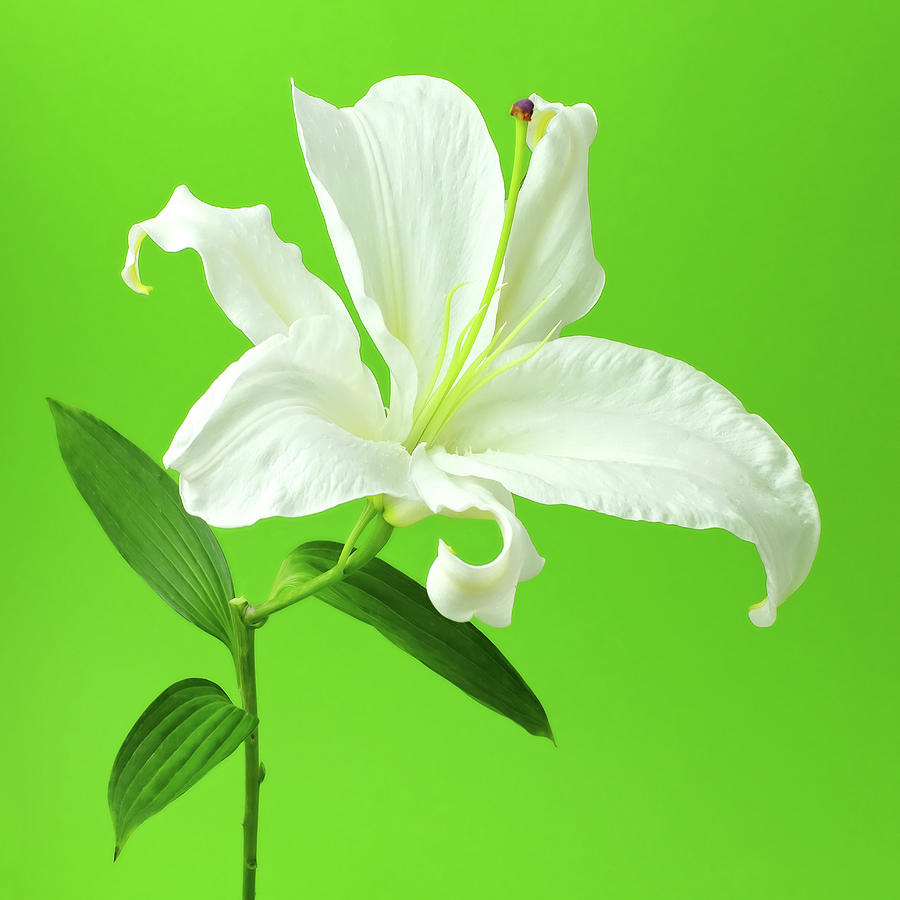 White Easter Lily On Green Photograph by Juj Winn