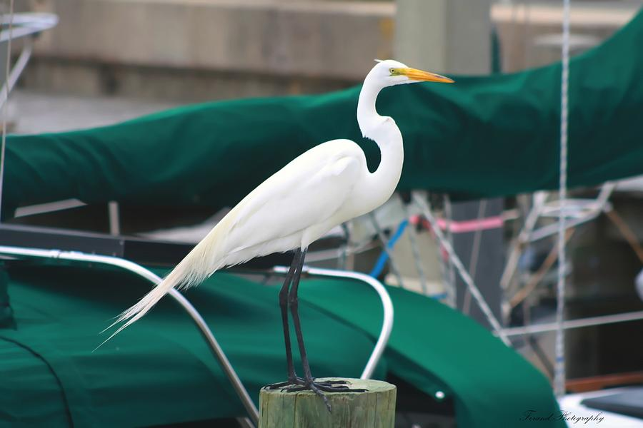 Egret Photograph - White Egret by Debra Forand