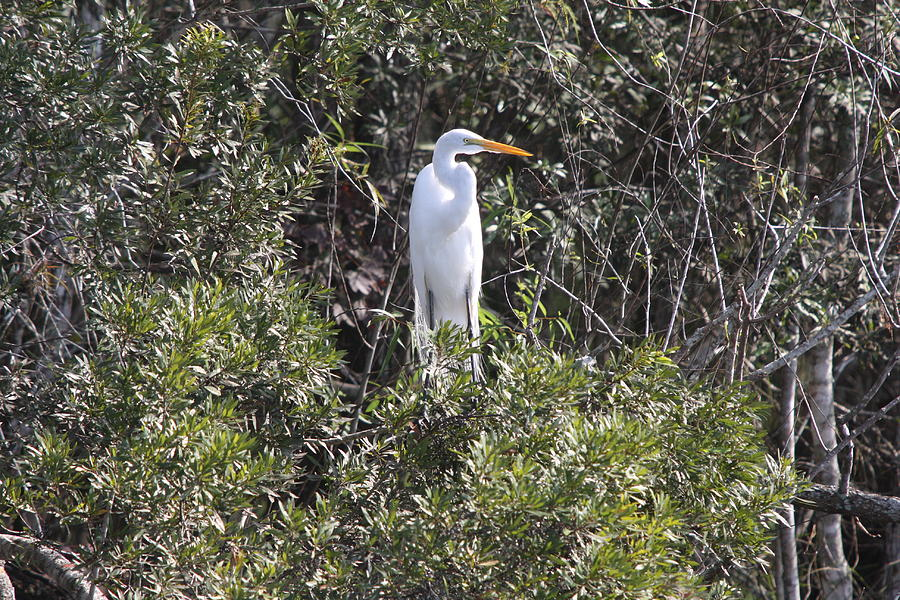 Egret Photograph - White Egret In The Swamp by Christiane Schulze Art And Photography