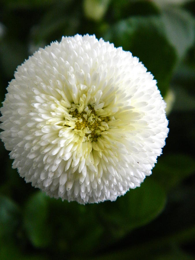 English Daisy Photograph - White English Daisy by Nicki Bennett