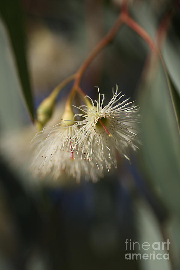 Eucalyptus Flowers Photograph - White Eucalyptus  by Joy Watson