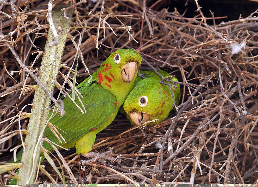 Amazon Photograph - White-eyed Parakeets Nesting by Science Photo Library