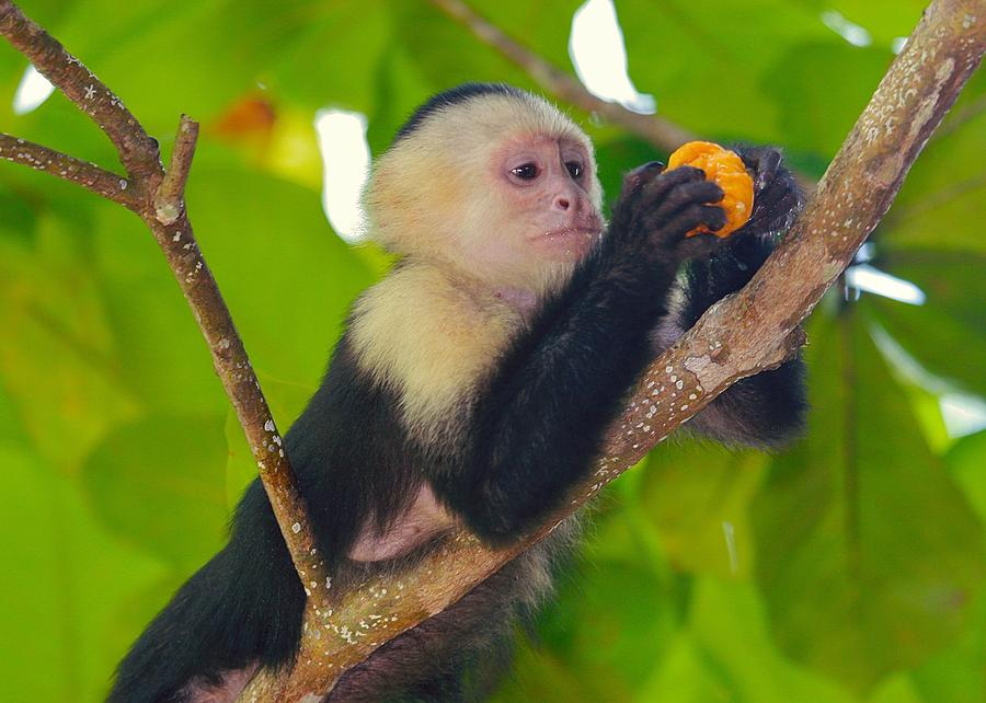 White Photograph - White-faced Capuchin by Brian Magnier