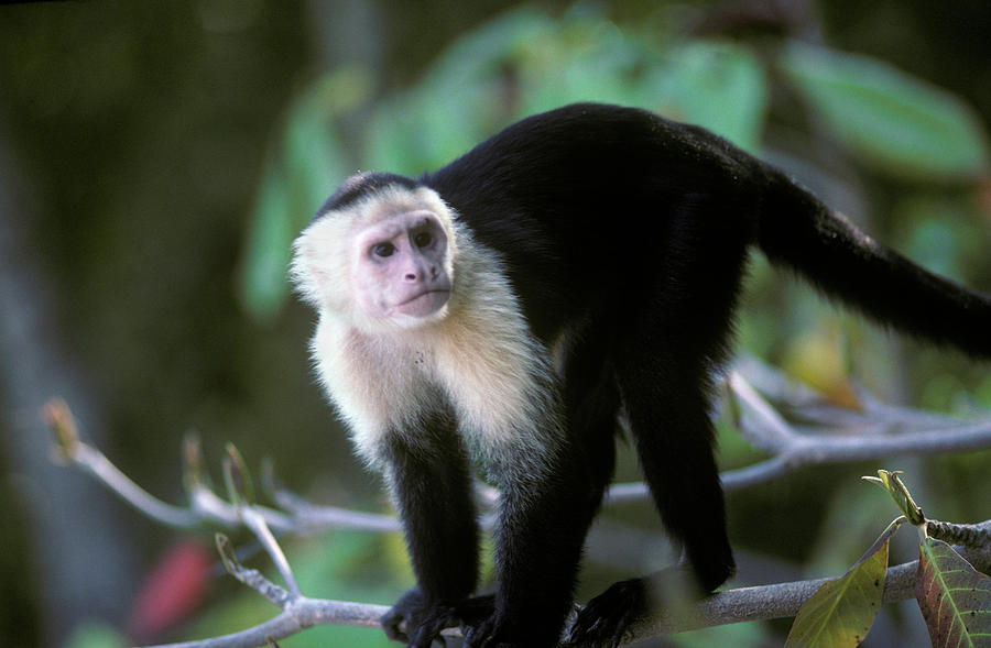 White Faced Capuchin Monkey Cebus by Animal Images