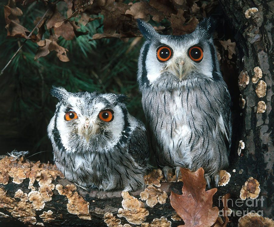 Animal Photograph - White Faced Scops Owl by Hans Reinhard