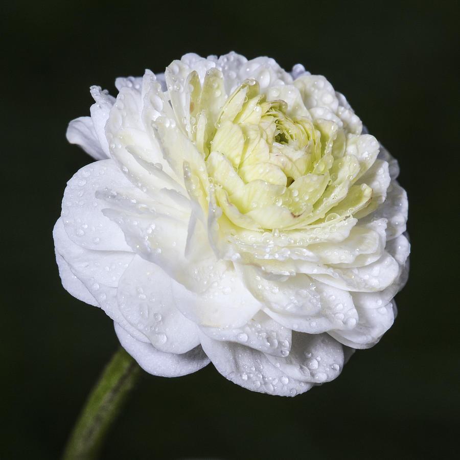 Color Photograph - White Flower by Arnar B Gudjonsson