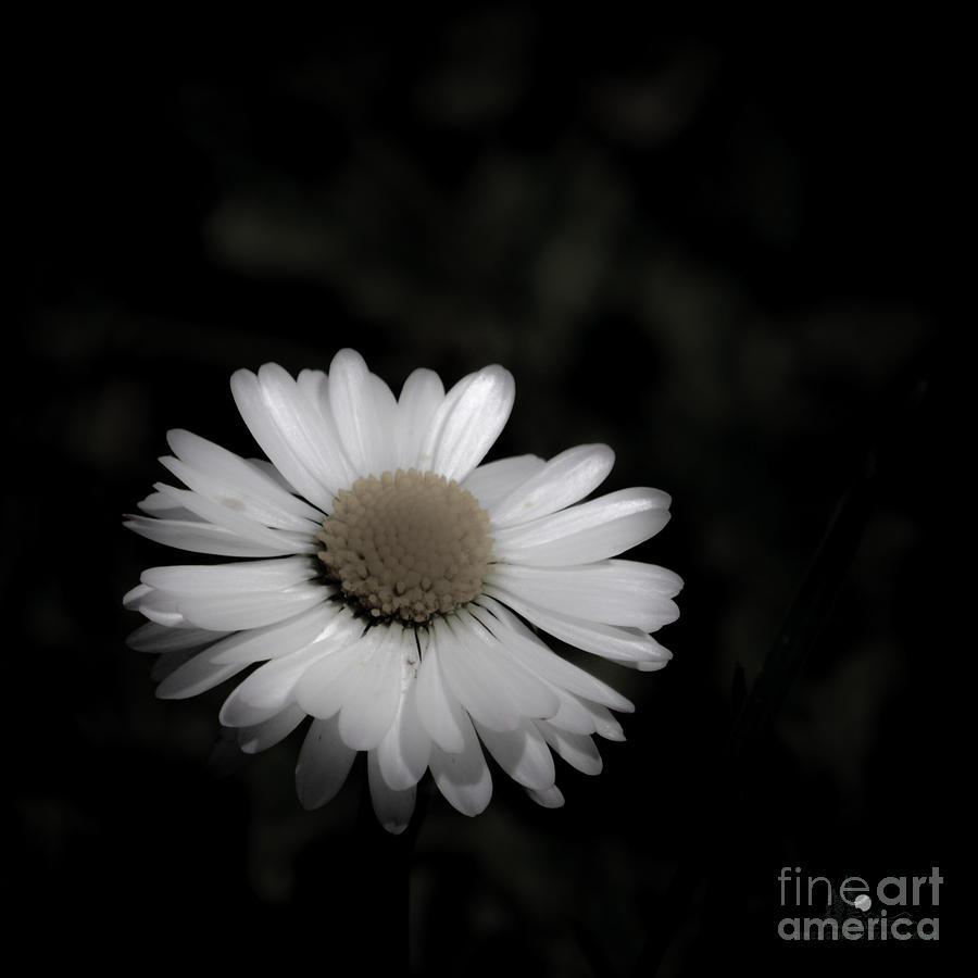 White Flower On Dark Background Photograph By Ronald Grogan