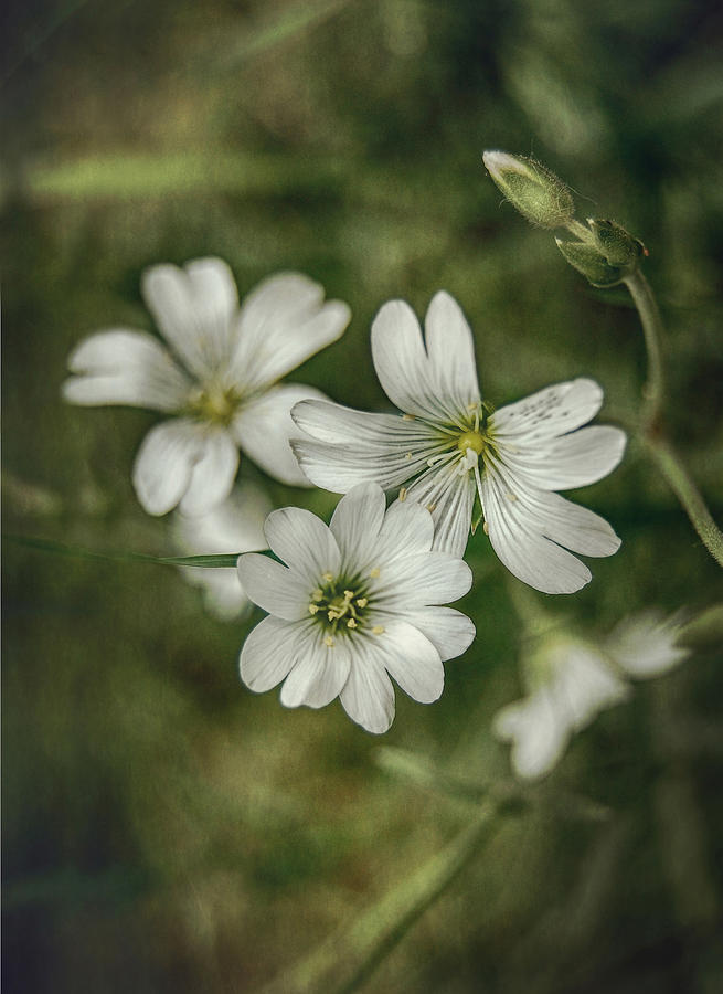 White Photograph - White Flowers by Gynt