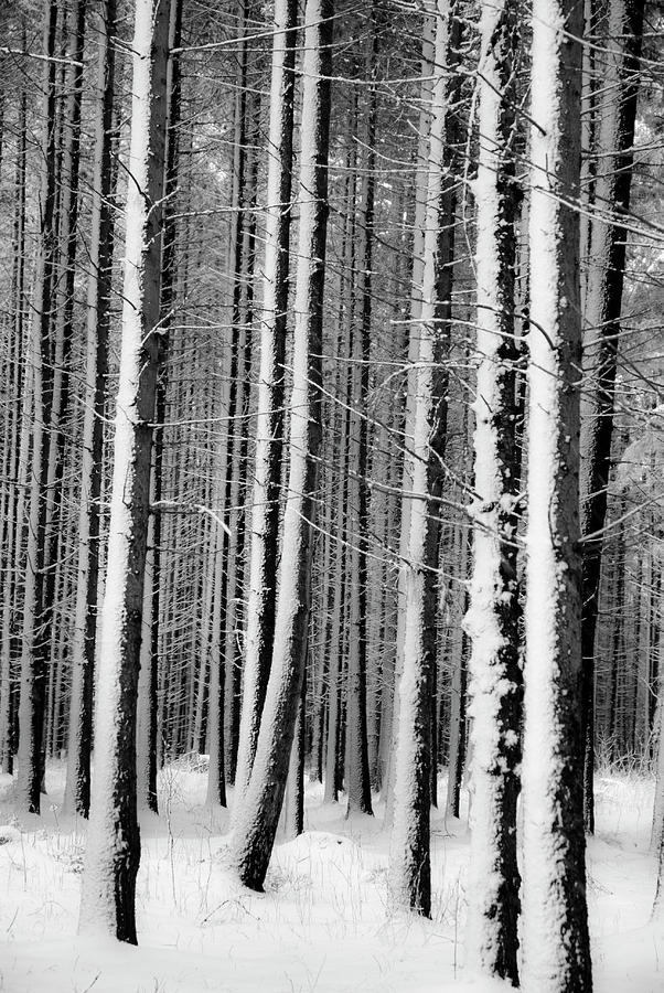 White Forest Photograph by Rambynas