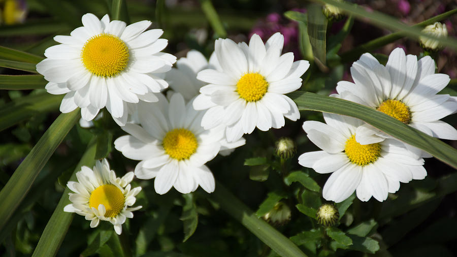 Daisy Photograph - White Gerbera Daisy by Priyanka Ravi