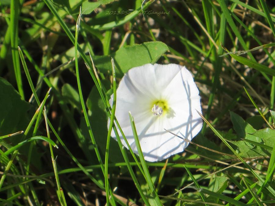 White Flower Photograph - White Glow by Sonali Gangane