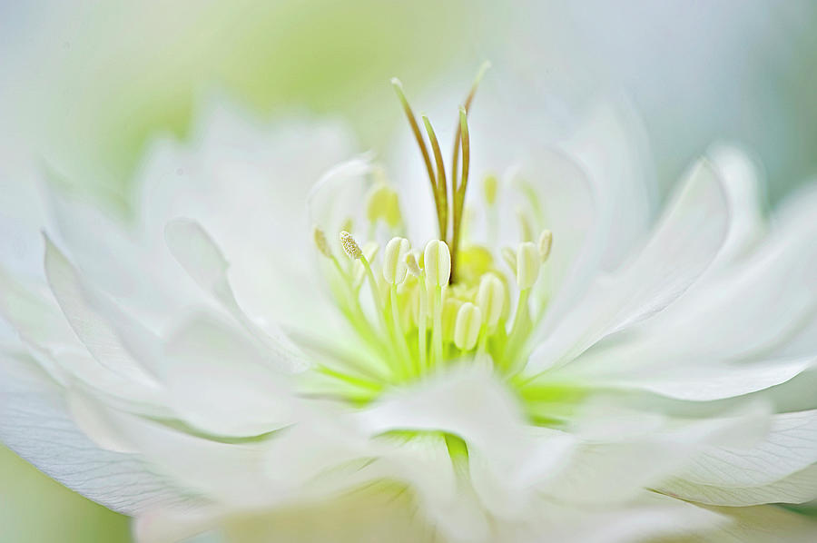 White Hellebore Flower Photograph by Jacky Parker Photography