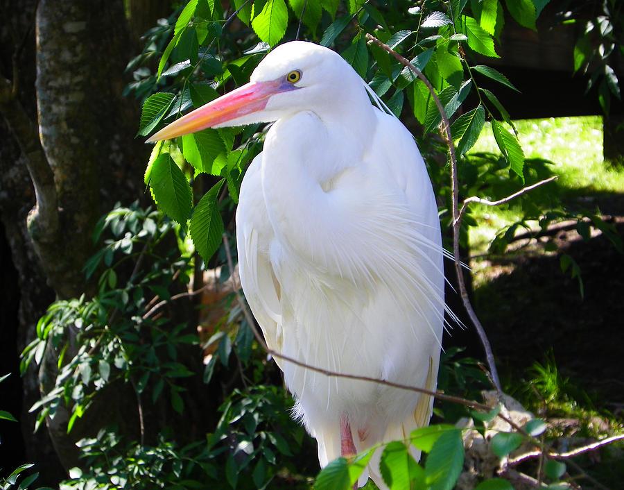 Nature Photograph - White Heron Beauty by Judy Wanamaker
