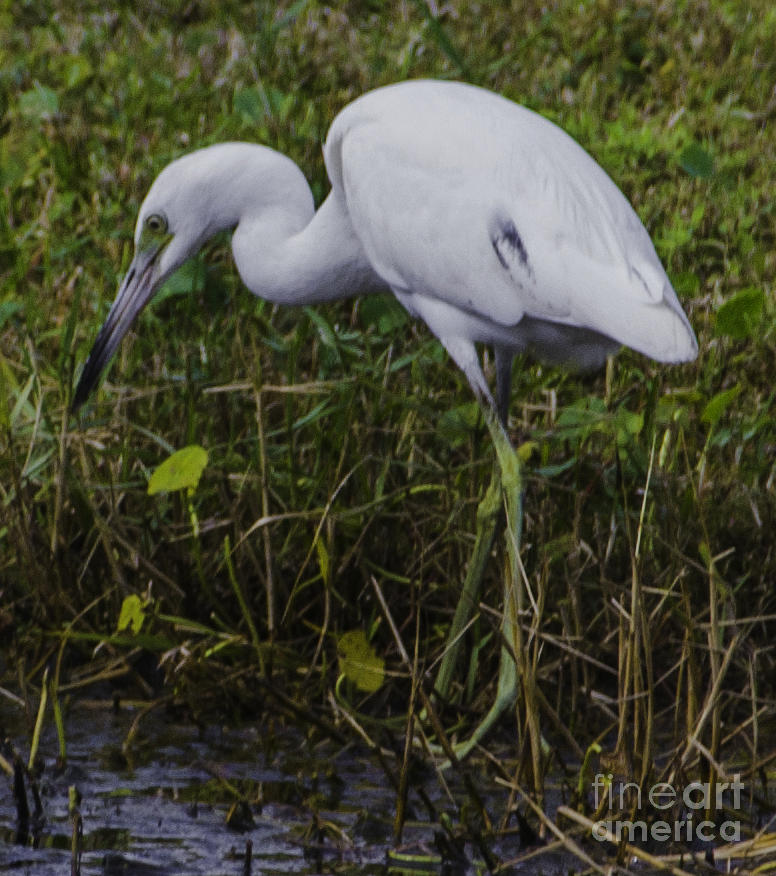 White Heron Feeding Photograph