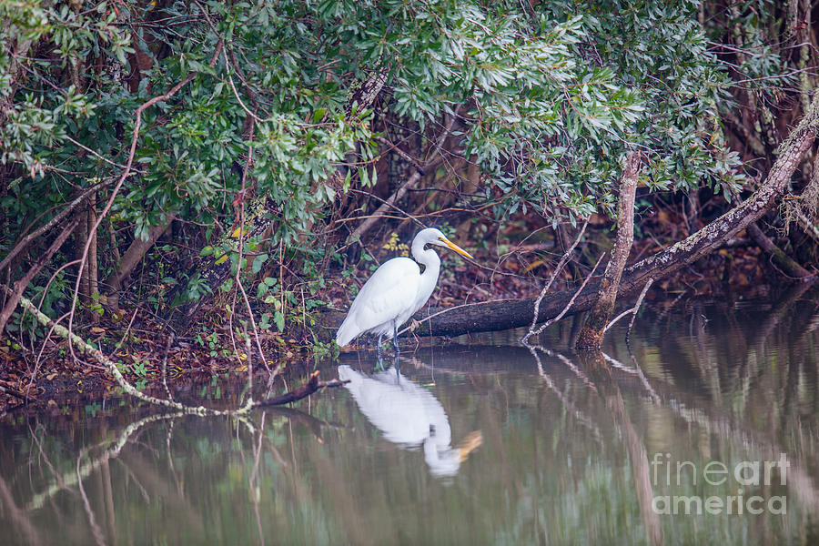 White Heron Looking For Lunch Photograph