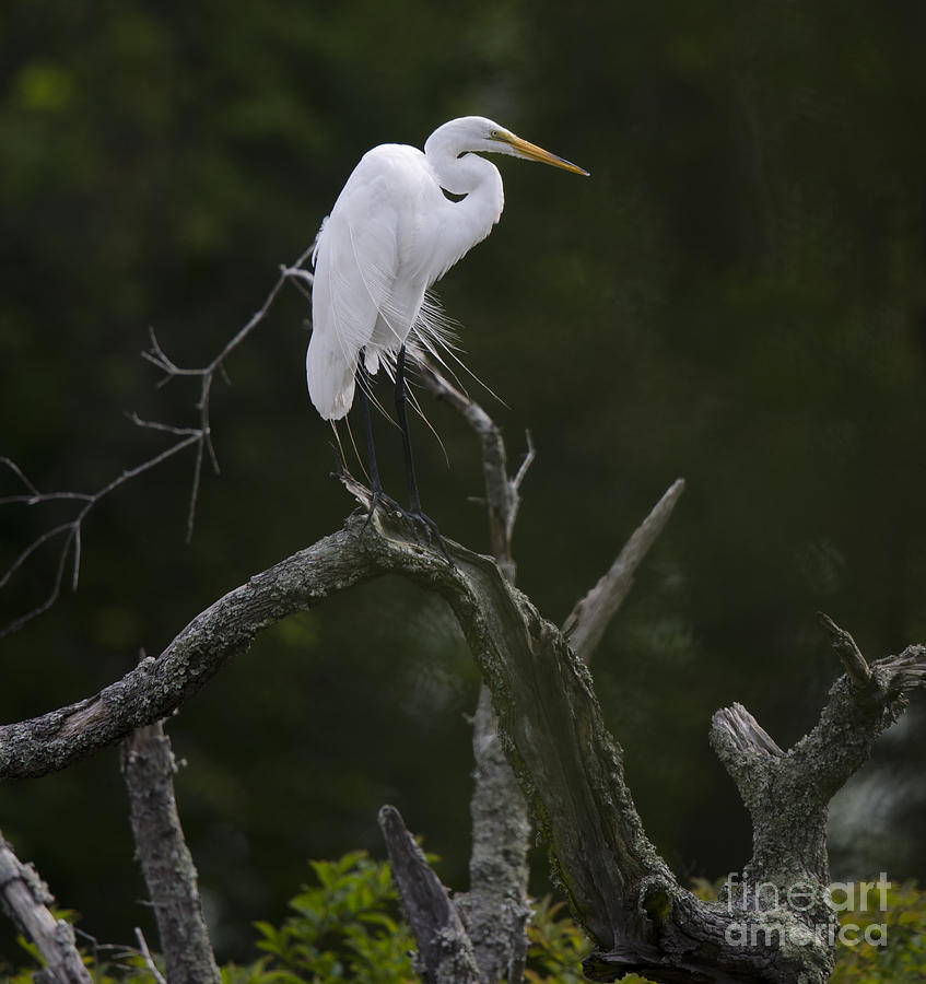 White Heron Perched Atop Dead Tree Photograph