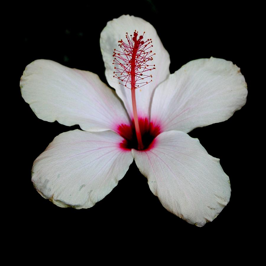 white hibiscus flower background wwwpixsharkcom