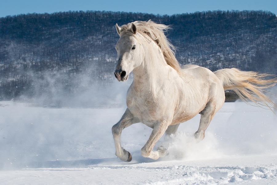 White running horses - photo#30