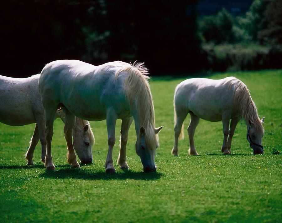 Graze Photograph - White Horses, Ireland by The Irish Image Collection